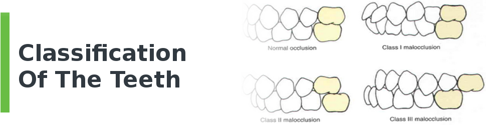 Classification of the Teeth